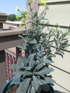 flowering tuscan kale!