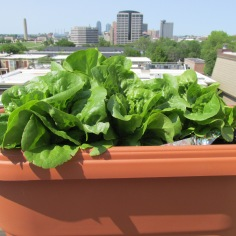 butter lettuce and kc skyline