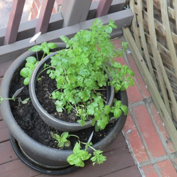 cilantro and basil